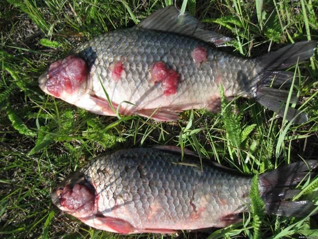Глисты в рыбе: можно ли есть рыбу и как не заразиться рыбными глистами?