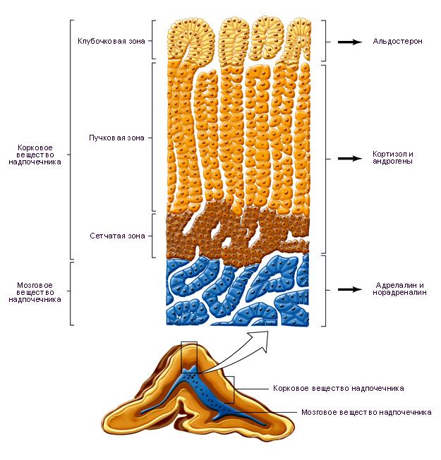 Первичный и вторичный гиперальдостеронизм: симптомы, рекомендации, лечение