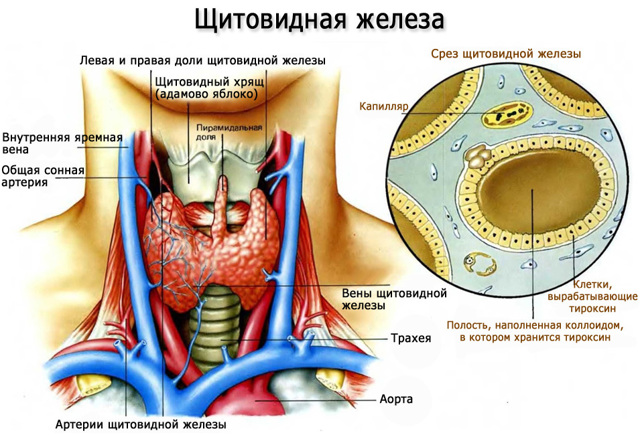 Диагностика гипотиреоза: признаки гипотиреоза у женщин и мужчин, клиника гипотиреоза, диета при гипотиреозе