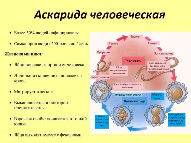 Аскариды у взрослых и детей: симптомы, лечение, анализы на аскариды, профилактика аскарид у детей и взрослых