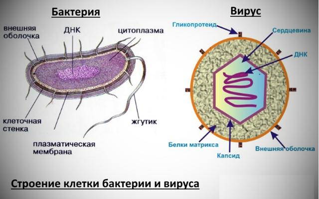 Как определить вирусная или бактериальная инфекция по анализу крови