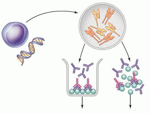 Анализ крови по методу ИФА: расшифровка, назначение, необходимость определения антител.